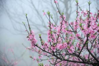 Peach Blossoms in Vietnamese New Year