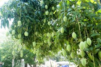 False rumor causes loss for mango farmers